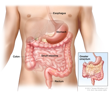 Drawing of the gastrointestinal tract showing the esophagus, stomach, colon, small intestine, and rectum. An inset shows the greater omentum (part of the tissue that surrounds the stomach and other organs in the abdomen).