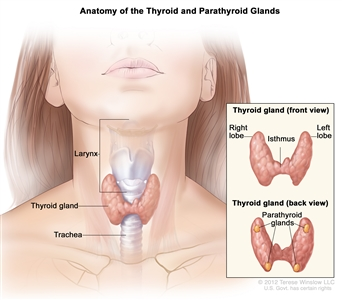 Anatomy of the thyroid and parathyroid glands; drawing shows the thyroid gland at the base of the throat near the trachea. An inset shows the front and back views. The front view shows that the thyroid is shaped like a butterfly, with the right lobe and left lobe connected by a thin piece of tissue called the isthmus. The back view shows the four pea-sized parathyroid glands. The larynx is also shown.