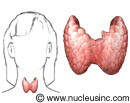 The location of the thyroid gland
