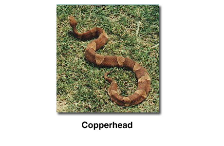 Photograph of a copperhead snake.