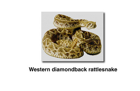 Photograph of a Western diamondback rattlesnake.