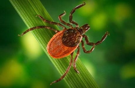 Western black-legged tick
