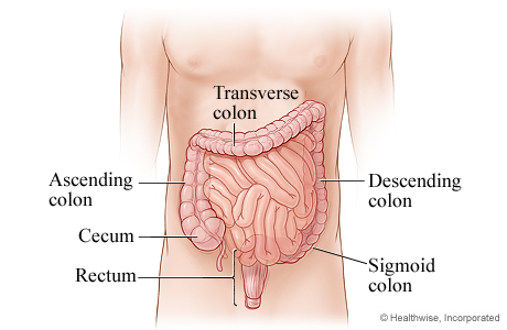 The parts of the lower digestive system