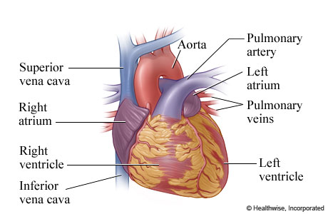 The atria and ventricles of the heart, and some of the heart's blood vessels