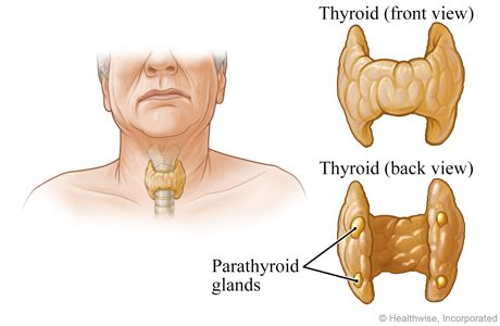 Location and close-up view of the parathyroid glands