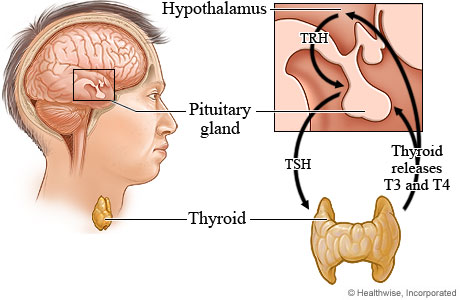 The thyroid hormone production process