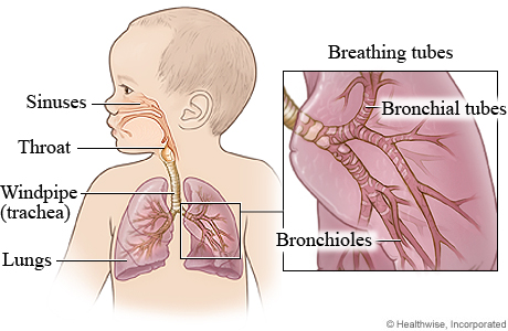 Picture of the respiratory system in a child