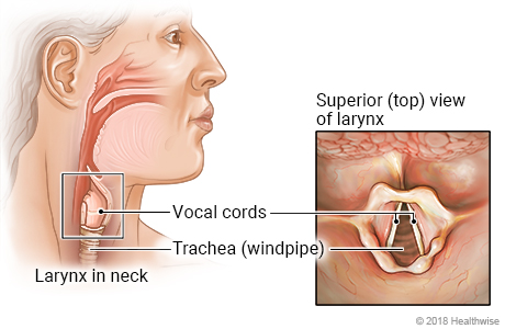 Location of larynx (voice box) in neck, with top-view detail of voice box, vocal cords, and windpipe