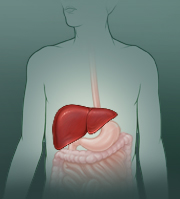 Liver location in right upper belly