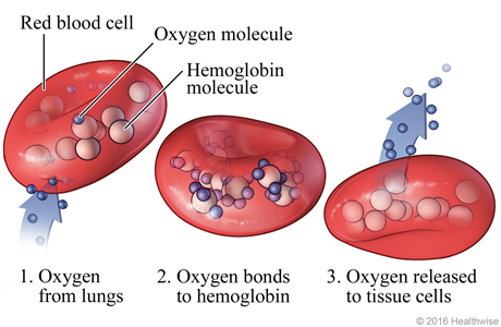 How oxygen is carried to cells in the body