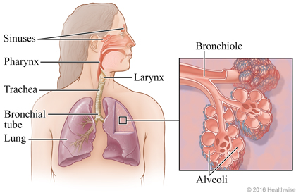Respiratory system, with detail of bronchiole and alveoli