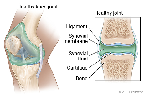 Healthy knee joint, with detail showing synovial membrane and fluid, ligament, cartilage, and bone
