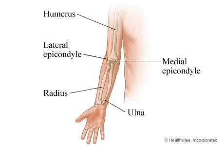 Bones of the arm