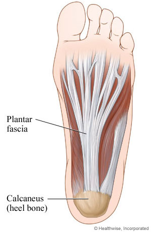Plantar fascia (ligament in foot): Bottom view