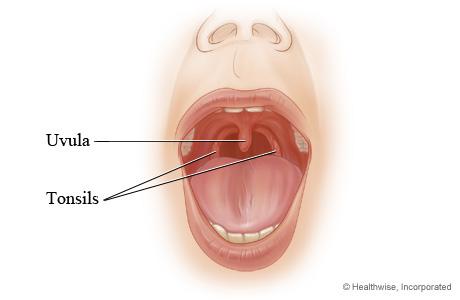 Tonsils and uvula