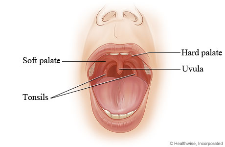 Hard palate and soft palate