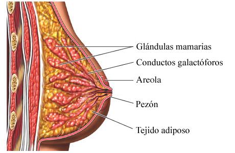 Anatomía del seno