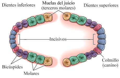 Ubicación de las muelas del juicio (terceros molares)