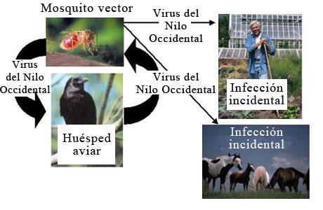 Ciclo de transmisión del virus del Nilo Occidental