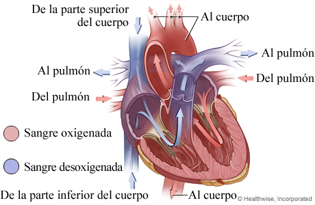 Imagen de la anatomía del corazón (flujo de sangre)