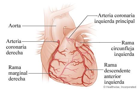 El corazón y las arterias coronarias