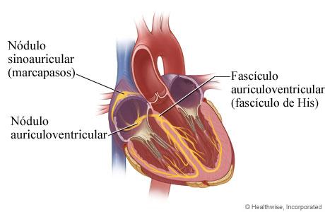 Sistema eléctrico del corazón (vista interior)