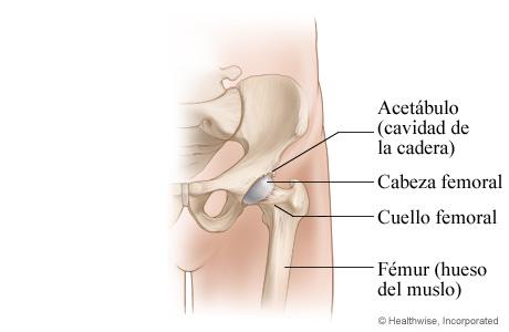 Articulación normal de la cadera