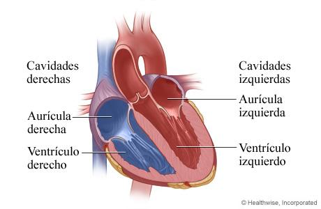 Vista interior de las cavidades del corazón