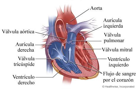 Imagen de la anatomía del corazón (cavidades y válvulas)