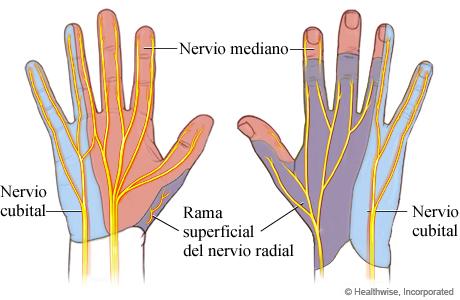 Nervios de la mano y zonas de piel que reciben sensibilidad de esos nervios