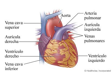 Anatomía del corazón (vista exterior)