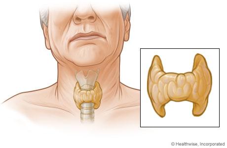 Glándula tiroidea y su ubicación en el cuerpo