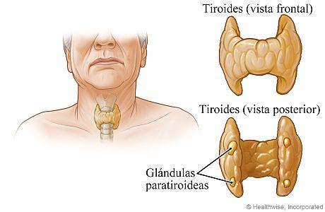 Ubicación y vista en primer plano de las glándulas paratiroideas