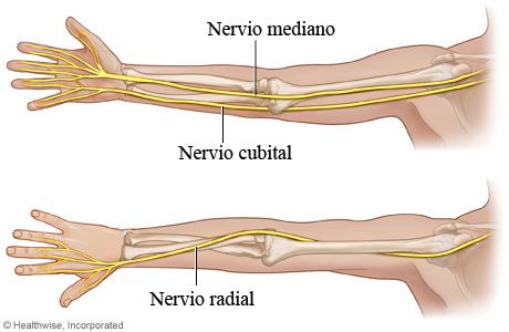 Los tres nervios principales del brazo