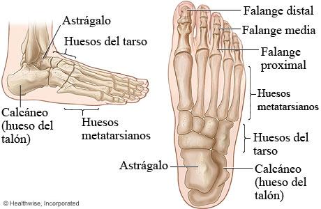 Imágenes de los huesos del pie (vista superior y vista lateral)