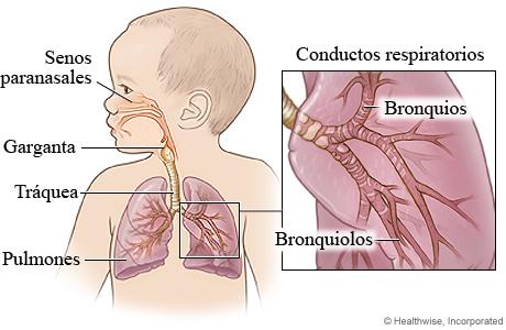 Imagen del aparato respiratorio de un niño