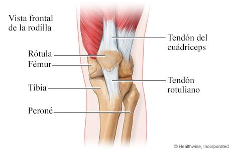 Vista frontal de los huesos y los tendones de la rodilla