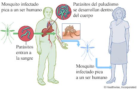 Ciclo de vida de los parásitos del paludismo