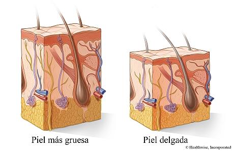 Corte transversal de piel más gruesa y piel más delgada