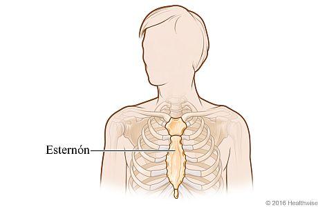 Vista ósea del esternón en el pecho