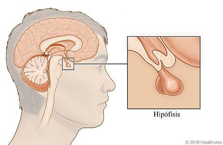Ubicación de la hipófisis debajo del cerebro, con detalle de la glándula