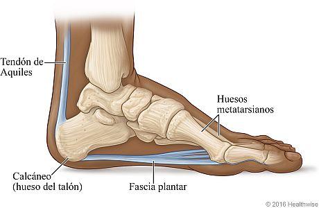 Vista ósea del pie donde se muestra la fascia plantar