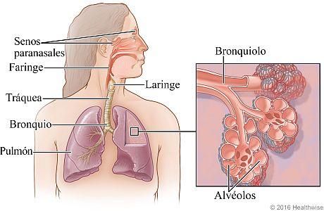 El aparato respiratorio, con detalle de bronquiolos y alvéolos